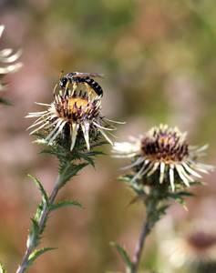 Vortrag: Wildbienen - unersetzliche Bestäuber