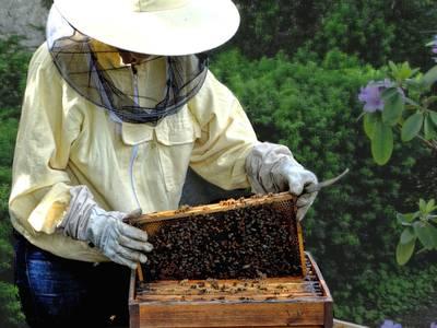 BienenFührung mit der Imkerin Anke Bähr auf dem Alten Zwölf-...