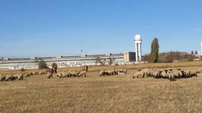 Schaftag auf Tempelhofer Feld u.a. mit Schäfchenkino